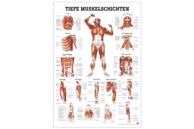 Lehrtafel Muskelschichten Frontansicht