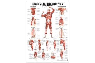 Lehrtafel Muskelschichten Rückansicht