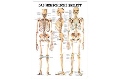 Lehrtafel Das menschliche Skelett
